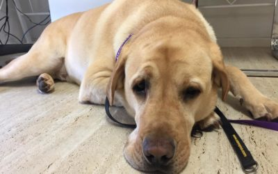 Pet of the Week – Floyd the Cheeky Labrador
