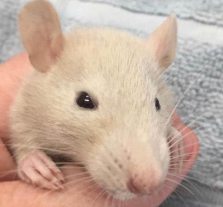 Pets of the Week- The Rat Pack!